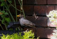 Need a drink (huscroftmick) Tags: blackbird garden drinking birdbath