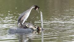 Grèbe huppé (Luc Bisensang Photographies) Tags: leteich oiseaux animaux grèbe huppé reproduction sauvage lucbisensang