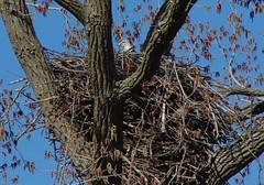 American Bald Eagle outside Manchester (Mark Roeder) Tags: bald eagle nest american