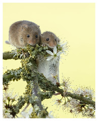 bobs great adventure (richgparkes) Tags: harvest mouse love spring sunshine nature yellow white