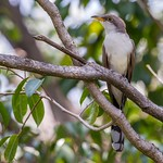 Yellow-billed Cuckoo thumbnail