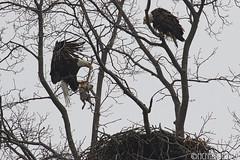 Bald Eagle and the Rabbit (mcfannon) Tags: birds bald eagles centerport prey