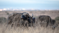 Nairobi-Nationalpark-April-8686 (ovg2012) Tags: africa afrika büffel canon capebuffalo kaffernbüffel kenia kenya nairobinationalpark reisefotografie safari synceruscaffer wildlife animal nature travelphotographer wild wildlifephoto wildlifephotography