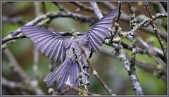 Wingspan (robinlamb1) Tags: nature bush roseofsharon poecileatricapilla blackcappedchickadee bird animal wingspan stretching