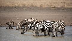 Nairobi-Nationalpark-April-0002 (ovg2012) Tags: africa afrika canon commonzebra equusquagga kenia kenya nairobinationalpark reisefotografie safari steppenzebra wildlife animal nature travelphotographer wild wildlifephoto wildlifephotography
