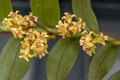 XXI Exposición de Orquídeas (José M. Arboleda) Tags: orquídea catleya flor exposición premio concurso popayán colombia canon eos 5d markiv ef100mmf28usm josémarboledac
