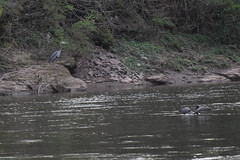 Blue Heron and Cormorant (escape2eclipse) Tags: river greatblueheron cormorant wings birds nature wildlife