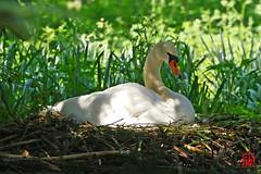 Pas encore éclos les œufs de Madame Cygne (mamnic47 - Over 10 millions views.Thks!) Tags: maresaintjames sigma150600mm oiseaux 20042019 6c8a3981 cygne cygnefemelle nid couver