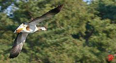 Flou d'effet de vitesse pour l'oie à tête barrée... (mamnic47 - Over 10 millions views.Thks!) Tags: maresaintjames sigma150600mm oiseaux 20042019 6c8a3789 oieàtêtebarrée vol