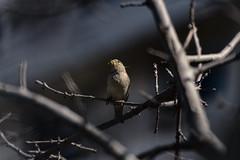 photo020 (Matias Lynch) Tags: bird branch grass beak wild wildlife animal fly dove pigeon buenosaires argentina