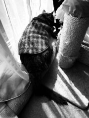 Argent's Sunlight 2 (sjrankin) Tags: 21april2019 edited animal cat closeup livingroom kitahiroshima hokkaido japan argent tunic window glare sun sunlight nap sleep grayscale