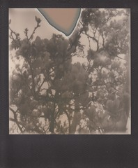 Magnolia (ifleming) Tags: polaroidweek2019 roidweek2019 roidweek expiredfilm poorpod px600 impossibleproject magnolia