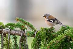 Pinson des arbres (Wan OA) Tags: oiseau pinson faune arbre nikon 200500mm z6