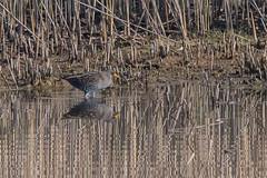 Spotted Crake (Tim Melling) Tags: porzanaporzana porzana spotted crake south yorkshire timmelling