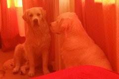 Sammy discovers his Mirror Image (andreboeni) Tags: golden labrador retriever mirror image reflection dog chien hund dogs chiens hunden perros
