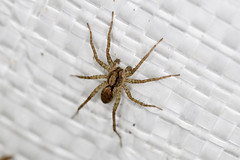 Pardosa, or Wolf Spider (ColinParker777) Tags: insect bug creepy crawly crawlies nature macro outdoors wildlife baby small tiny hong kong park country countryside canon 5ds 5dsr 100mm flash ring dslr photography spider pardosa wolf hunter attack predator shatin tai wai shing mun reservoir
