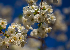 Springtime (Ian Emerson (Thanks for all the comments and faves) Tags: blossom tree 24105 canon bokeh canon6d flower
