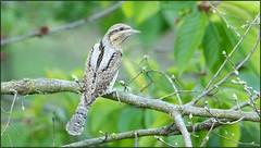 Torcol fourmilier / Eurasian Wryneck (denismichaluszko) Tags: torcolfourmilier eurasianwryneck nature viesauvage oiseau bokeh couleurs birdlife wildlife bird colours background
