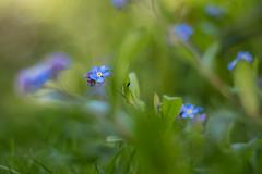 Vergissmeinnicht (ANVOTO) Tags: makro bokeh vergissmeinnicht pflanzen landschaft garten canoneosm5 blumenundpflanzen ef50mmf18stm natur blumen