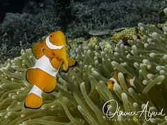 BALI18_IMG_6055-MDive1 (oalard) Tags: g16 fantasea retra bali indonesia submarinephotography photosousmarine plongees plongee dive diver poissonclown fish