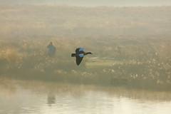 _B5A4304REWS Flight Recorded, © Jon Perry, 20-4-19 zbq (Jon Perry - Enlightenshade) Tags: goose flying flyinggoose bird richmondpark jonperry enlightenshade arranginglightcom 20419 20190420 dawn duck flight photographer
