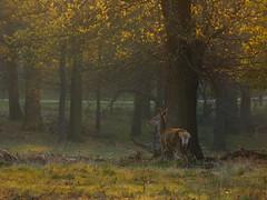 _B5A4285REWS Early Gold, © Jon Perry, 20-4-19 zbq (Jon Perry - Enlightenshade) Tags: deer dawn backlit richmondpark jonperry enlightenshade arranginglightcom 20419 20190420 morning