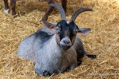 Mead Open Farm (Ashley Middleton Photography) Tags: animal bedfordshire billington england europe goat mammal meadopenfarm unitedkingdom