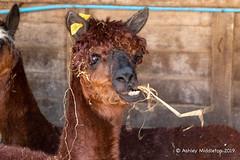 Mead Open Farm (Ashley Middleton Photography) Tags: alpaca animal bedfordshire billington england europe mammal meadopenfarm unitedkingdom