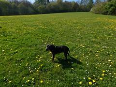 P1430343 (businessofferrets) Tags: birleyspa stella dog staffy rspcarescuedog