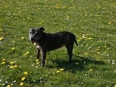 P1430346 (businessofferrets) Tags: birleyspa stella dog staffy rspcarescuedog