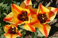 Tulpen / tulips (tulipa greigii Cape Cod) (HEN-Magonza) Tags: botanischergartenmainz mainzbotanicalgardens rheinlandpfalz rhinelandpalatinate germany deutschland frühling springtime flora tulpe tulip tulipagreigiicapecod