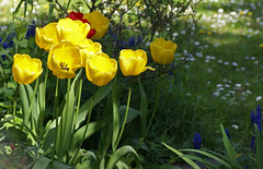 Tulpen / tulips (tulipa) (HEN-Magonza) Tags: botanischergartenmainz mainzbotanicalgardens rheinlandpfalz rhinelandpalatinate germany deutschland frühling springtime flora tulpe tulip tulipa