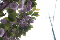 _1011206.jpg (plasticskin2001) Tags: flower sakura powerline micronikkor f28s ai
