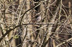 Rouge-queue noir femelle (Babaw23) Tags: bird morvan femelle oiseau noir rougequeue