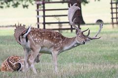 Fallow deer buck (Pentakrom) Tags: fallow deer buck stag holkham hall norfolk