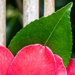 Pink and Green (Andrew Hounslea) Tags: 85 85mm afs afsdxmicronikkor85mmf35gedvr bamboo cheshire d7500 dx england flower g green kingdom leaf micro nikkor nikon park pink tatton tattonpark united unitedkingdom vr f35 f35g