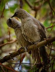 Black-lored Babblers (Rod Waddington) Tags: africa african afrique afrika uganda ugandan bunyonyi lake blacklored babblers pair wild animal bird wildlife nature outdoor