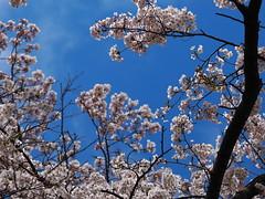 blue sky (murozo) Tags: blue sky cherry blossom sakura spring tree yurihonjo akita japan 青空 空 桜 花 木 由利本荘 秋田 日本