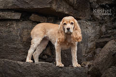 Picture of the Day (Keshet Kennels & Rescue) Tags: adoption dog ottawa ontario canada keshet large breed dogs animal animals pet pets field nature photography cocker spaniel rocks cliff