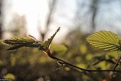 Beauty of nature (Noemie.C Photo) Tags: leaf leaves tree arbre nature spring printemps forest foret balade promenade sun soleil light lumiere fil araignée bud bourgeon