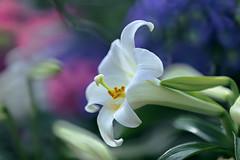 Easter Lily (lfeng1014) Tags: easterlily lily liliumlongiflorum flower flowermacro macro macrophotography depthoffield dof closeup bokeh canon5dmarkiii ef100mmf28lmacroisusm centennialparkconservatory toronto lifeng