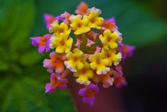 Lantana camara (Changer4Ever) Tags: 馬纓丹 lantanacamara 花 微距 petals macro closeup depthoffield dof bokeh season nature life plant flower 1050mmf28 nikkor d750 nikon focusstack focusstacking stackfocused