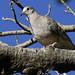 Inca Dove, Columbina inca Ascanio_Best Costa Rica 199A5369