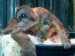 Théodora et Java (12) (Mhln) Tags: ménagerie zoo zoologique parc park paris france 2019 animaux sauvages préservation orangoutan orangsoutans