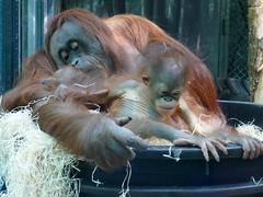 Théodora et Java (10) (Mhln) Tags: ménagerie zoo zoologique parc park paris france 2019 animaux sauvages préservation orangoutan orangsoutans