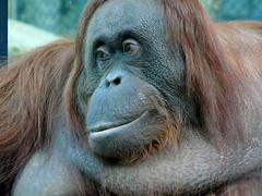 Théodora (2) (Mhln) Tags: ménagerie zoo zoologique parc park paris france 2019 animaux sauvages préservation orangoutan orangsoutans