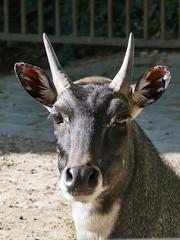 Nilgaut mâle (Mhln) Tags: ménagerie zoo zoologique parc park paris france 2019 animaux sauvages préservation