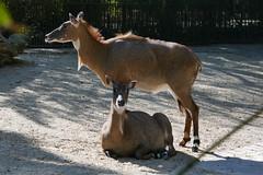 Nilgauts femelles (Mhln) Tags: ménagerie zoo zoologique parc park paris france 2019 animaux sauvages préservation