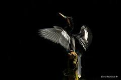 I'll pose in this dramatic light.. (Earl Reinink) Tags: bird animal beak anhinga black dark nature wildlife swamp earlreinink adztzahdea