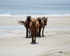 Wild Horses 01 (SomeoneSaidFire) Tags: north carolina outer banks obx wild horses beach waves ocean stallion harem